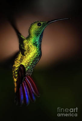 Green Breasted Mango Hummingbird Poster