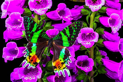 Green Butterfly On Foxglove Poster