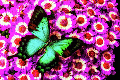 Green Butterfly On Pericallis Flowers Poster by Garry Gay