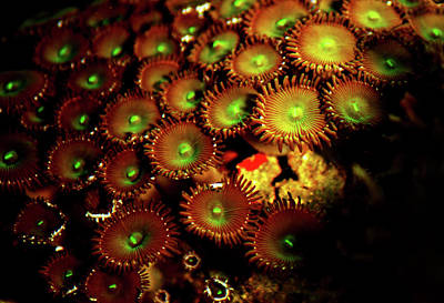 Poster featuring the photograph Green Button Polyps by Anthony Jones