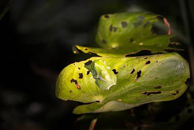 Green Frog On Leaf Poster