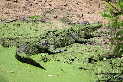 Green Gator Poster by Carol Groenen