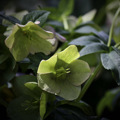 Green Hellebore Squared Poster