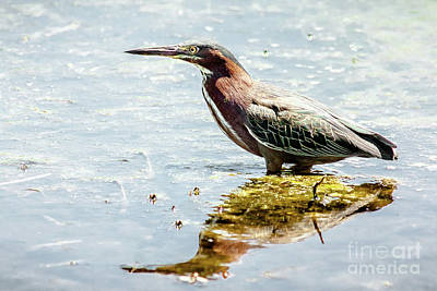 Poster featuring the photograph Green Heron Bright Day by Robert Frederick