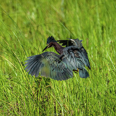 Green Heron Hunting Frogs Poster
