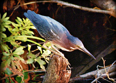 Green Heron Portrait Poster by Rose  Hill