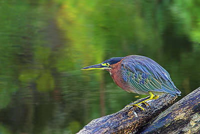 Poster featuring the photograph Green Heron- St Lucia by Chester Williams
