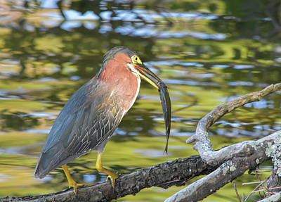 Green Heron With Fish Poster
