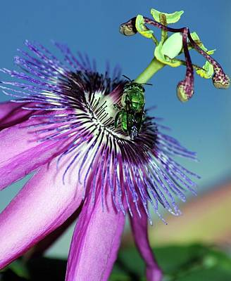 Green Hover Fly On Passion Flower Poster