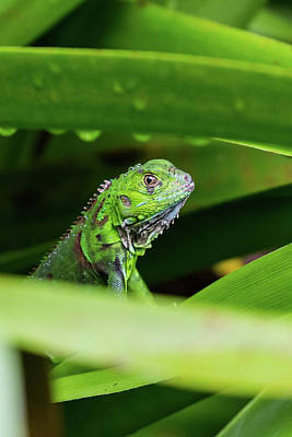 Poster featuring the photograph Green Iguana Of Costa Rica by John Haldane