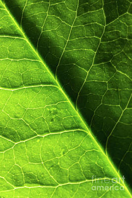 Poster featuring the photograph Green Leaf Veins by Ana V Ramirez