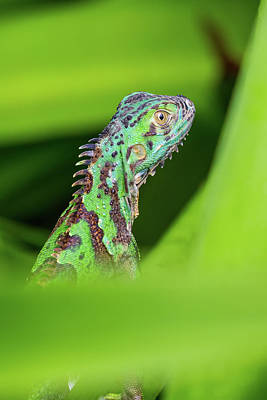 Poster featuring the photograph Green Lizard In Costa Rica by John Haldane