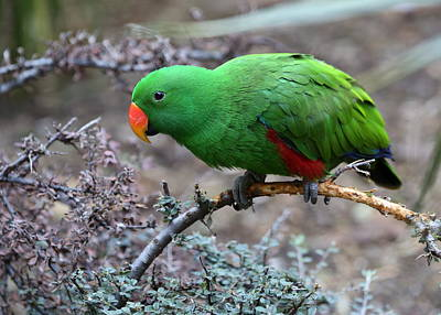 Green Male Eclectus Parrot Poster