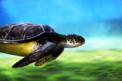 Green Sea Turtle 2 Poster