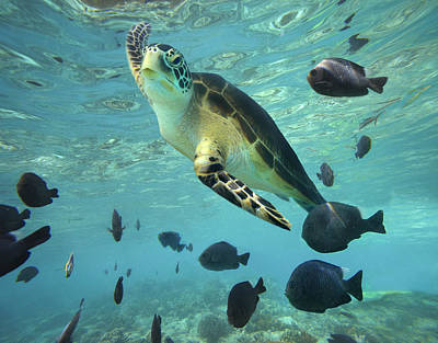 Poster featuring the photograph Green Sea Turtle Balicasag Island by Tim Fitzharris