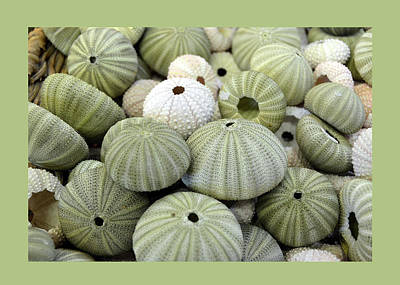 Green Sea Urchins Poster by Carla Parris