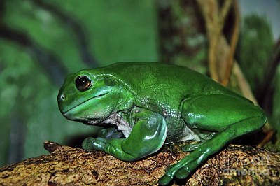 Green Tree Frog With A Smile Poster by Kaye Menner