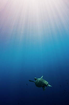 Green Turtle Swimming In Sunlit Ocean Poster