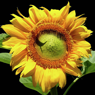 Greenburst Sunflower Poster by Rona Black