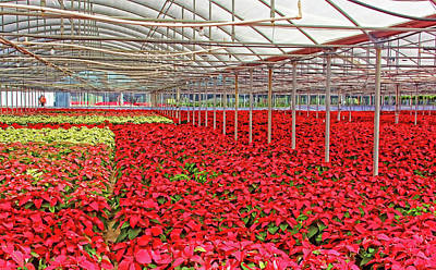 Greenhouse Poinsettias Poster by HH Photography of Florida