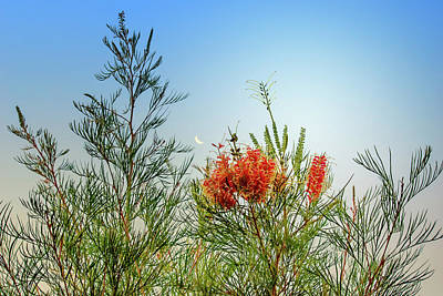 Grevillea With Moon Poster