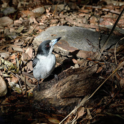 Poster featuring the photograph Grey Butcherbird by Nicholas Blackwell