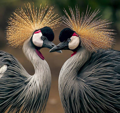 Grey Crowned Cranes Of Africa Poster by Daniel Hagerman