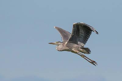 Grey Heron Poster