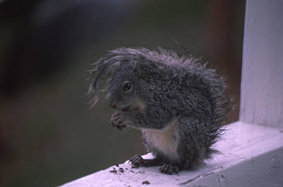 Grey Tree Squirrel Poster by Soli Deo Gloria Wilderness And Wildlife Photography