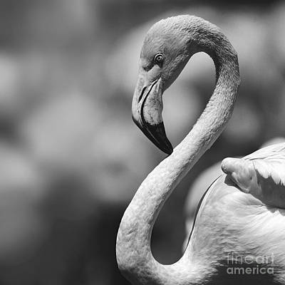 Greyscale Of A Tickled Pink Flamingo Poster