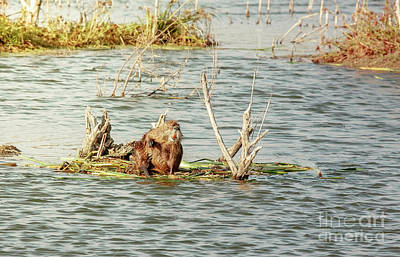 Poster featuring the photograph Grinning Nutria On Reeds by Robert Frederick