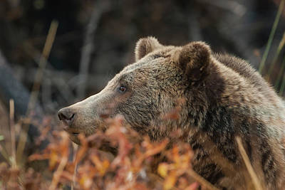 Grizzly Bear Portrait In Fall Poster