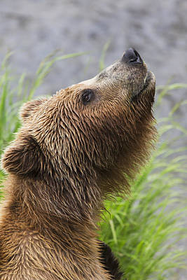 Grizzly Bear Sniffing Air While Fishing Poster