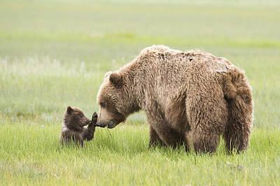 Grizzly Bear _ursus Arctos Horribilis_ Poster by Daisy Gilardini