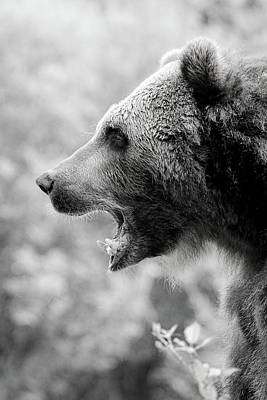 Grizzly Growl Black And White Poster