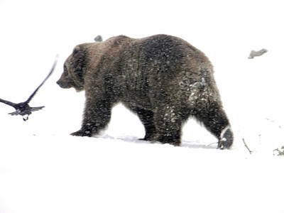 Poster featuring the photograph Grizzly by Meagan  Visser