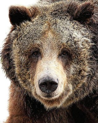 Grizzly Mug Poster