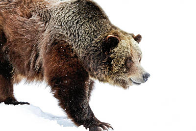 Grizzly Walk About Poster