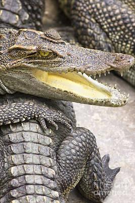 Group Of Crocodiles Poster