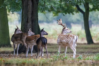 Group Of Four Fallow Deer - Dama Dama - Startled By Something On T Poster