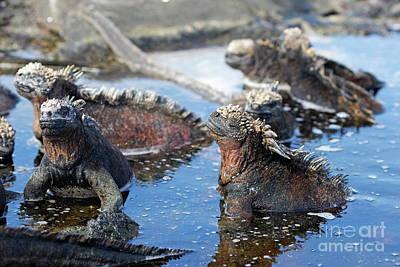 Group Of Marine Iguana Poster