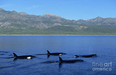 Group Of Orcas Poster by John Hyde - Printscapes