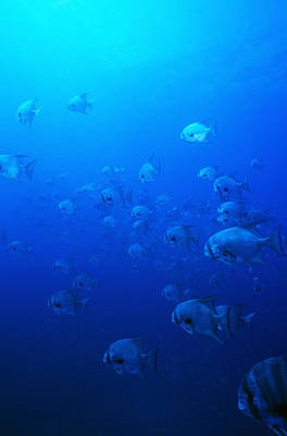 Group Of Pacific Spadefish Swimming Poster