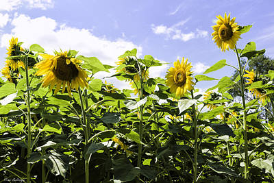 Group Of Sunflowers Poster by Fran Gallogly
