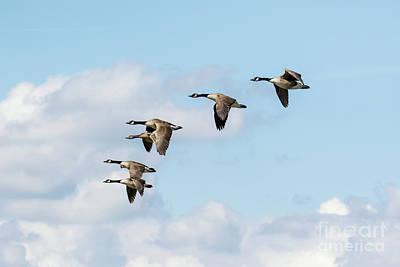 Group Or Gaggle Of Canada Geese - Branta Canadensis - Flying, In F Poster