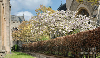 Grove Walk Cherry Blossom Oxford Poster by Tim Gainey