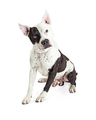 Guard Dog Pit Bull Over White Poster by Susan Schmitz