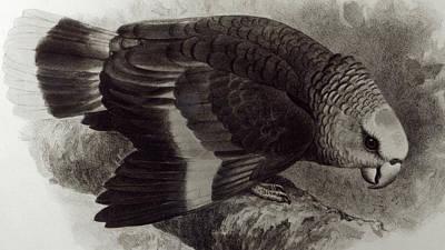 Guilding's Amazon Parrot,  Poster