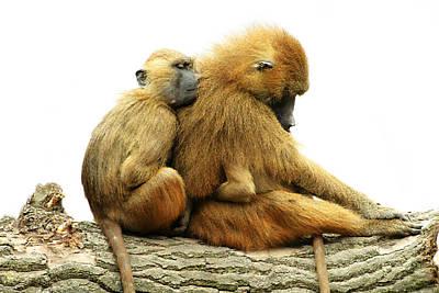 Guinea Baboons Poster by Ellen Henneke