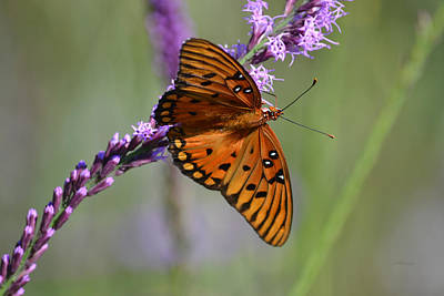 Gulf Fritillary Butterfly On Liatris Poster